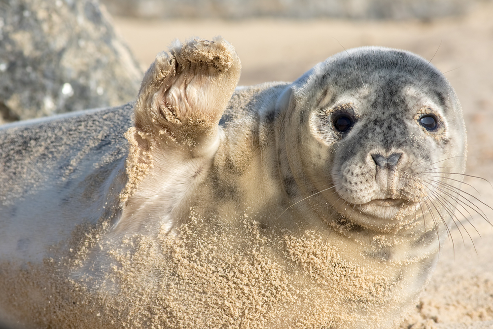 High five. Cute seal waving. Funny animal meme image. Saying hi or bye this beautiful baby seal is from the Horsey wild seal colony Norfolk UK. Saying goodbye, sorry to see you go.
